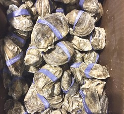 Salty Seas Whole Frozen Oysters 100 counts